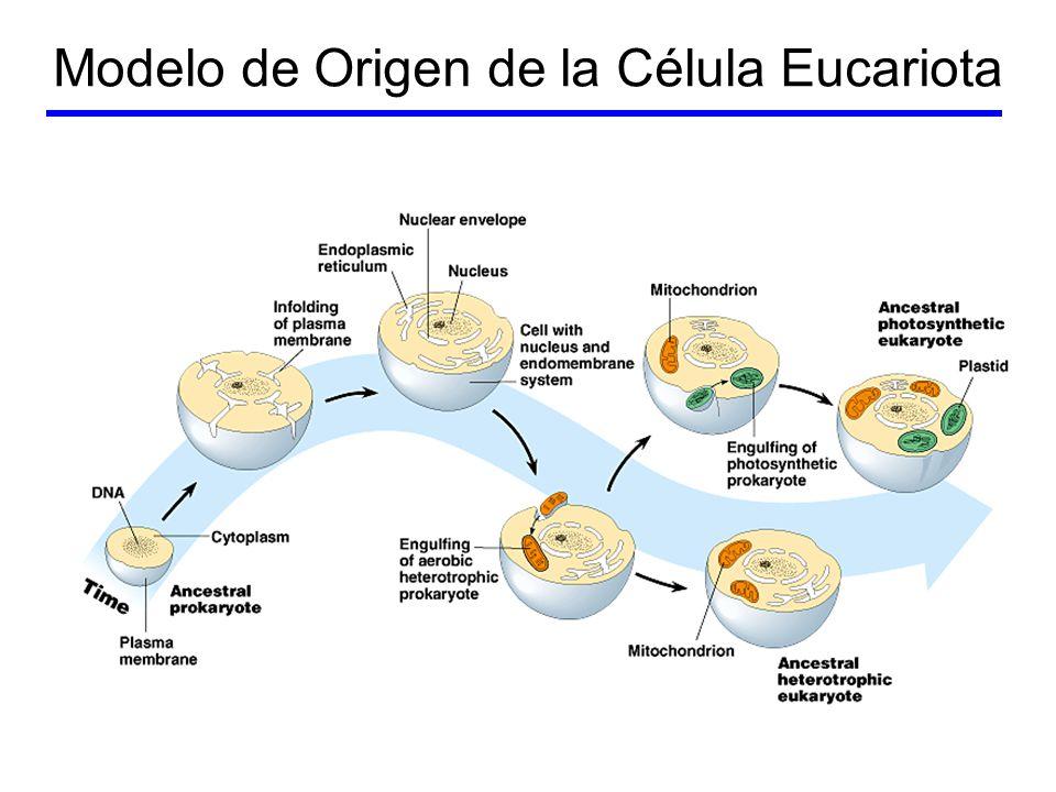 Modelo de Origen de la Célula Eucariota