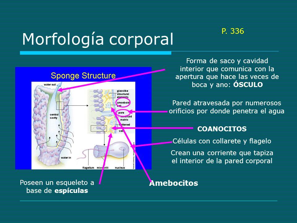 Morfología corporal P. 336 Amebocitos
