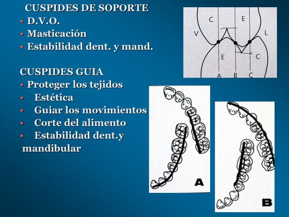 CUSPIDES DE SOPORTE D.V.O. Masticación Estabilidad dent. y mand.