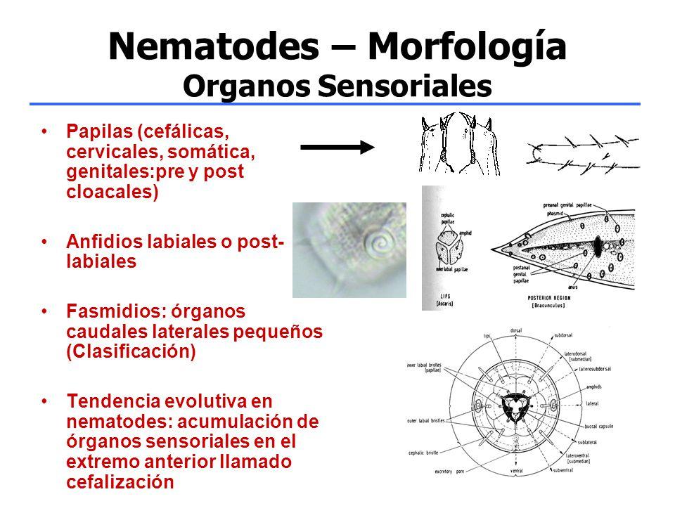 Nematodes – Morfología Organos Sensoriales