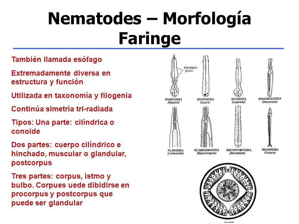 Nematodes – Morfología Faringe