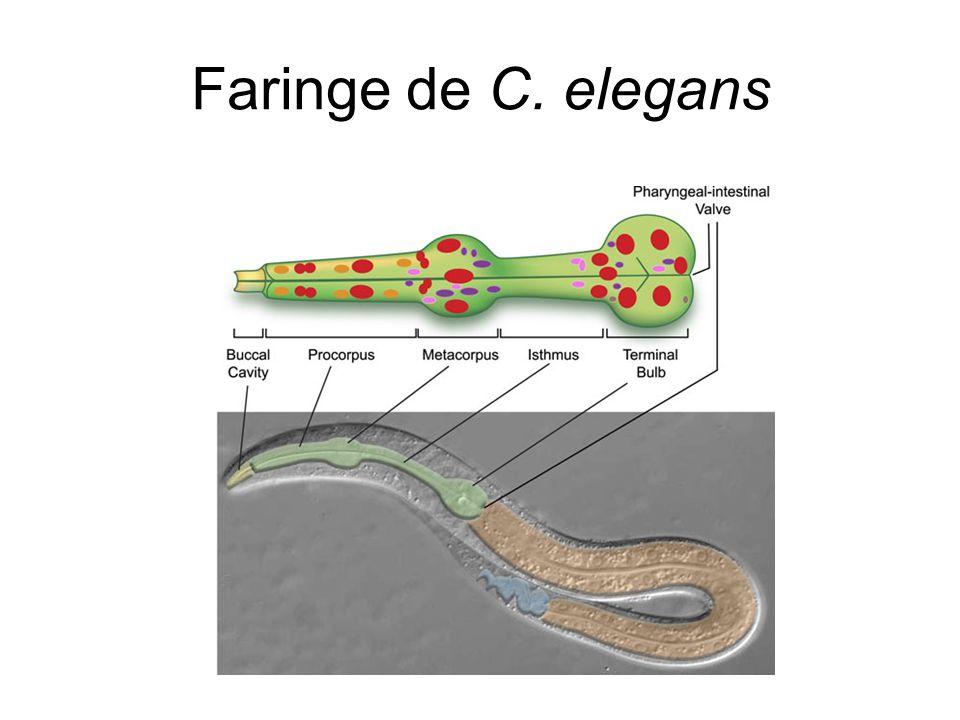 Faringe de C. elegans