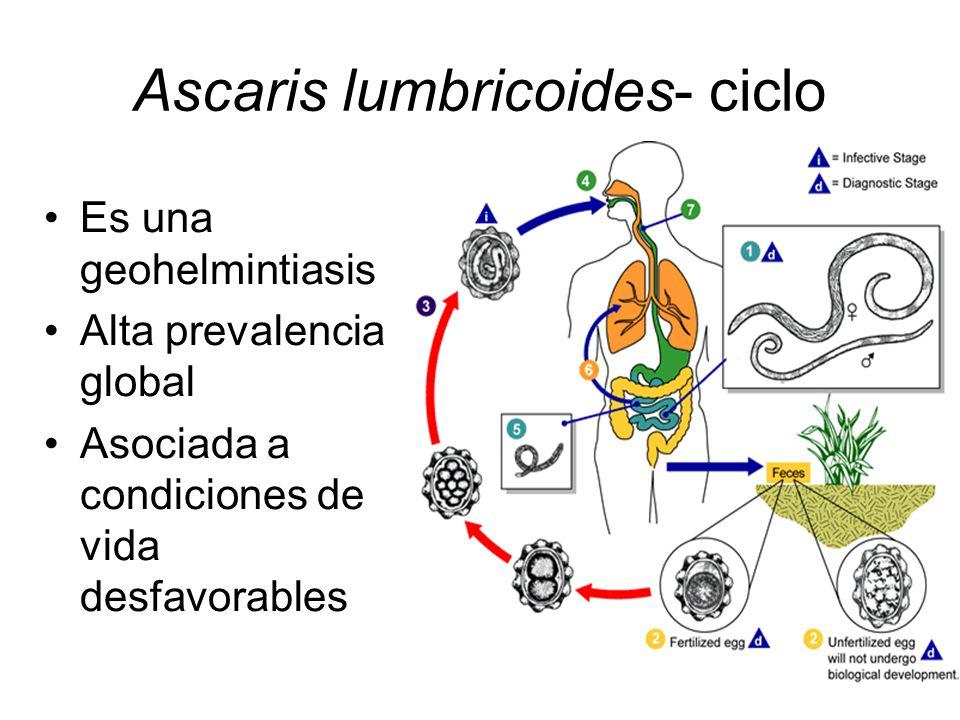 Ascaris lumbricoides- ciclo