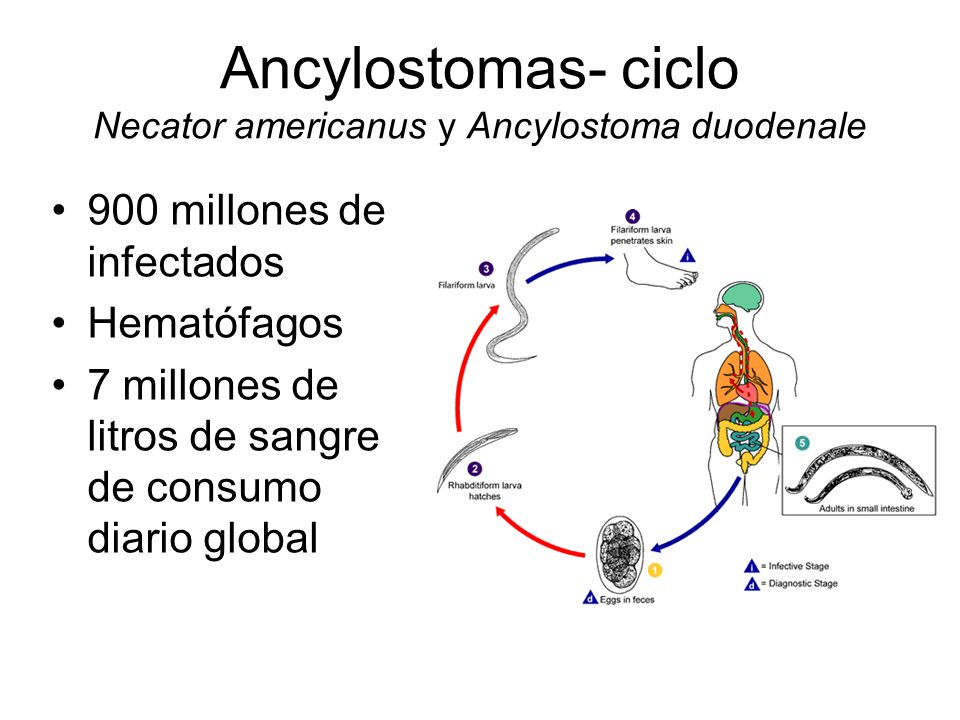 Ancylostomas- ciclo Necator americanus y Ancylostoma duodenale
