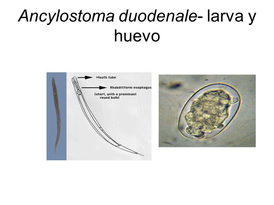 Ancylostoma duodenale- larva y huevo
