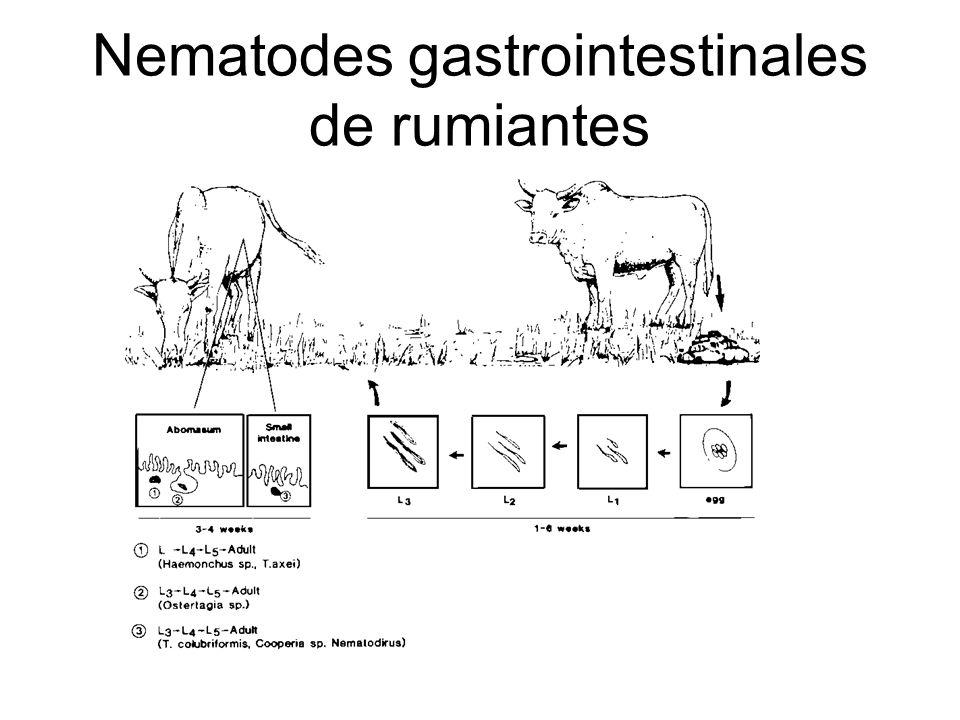 Nematodes gastrointestinales de rumiantes