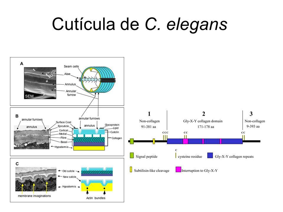 Cutícula de C. elegans