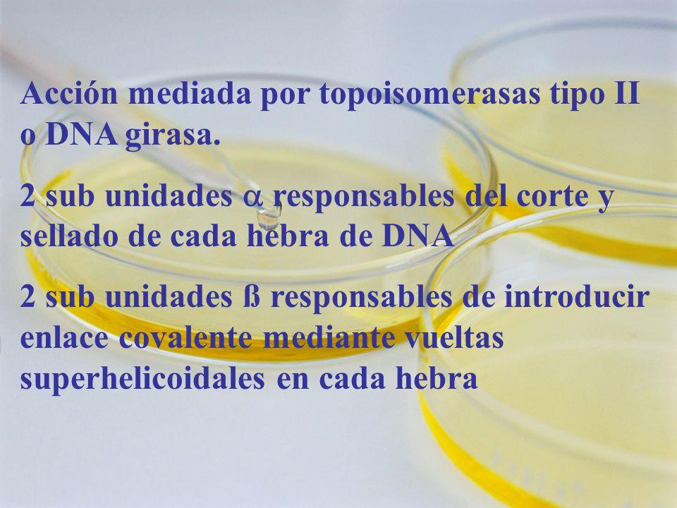 Acción mediada por topoisomerasas tipo II o DNA girasa.