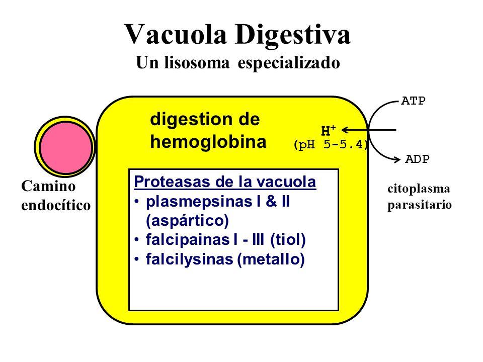 Vacuola Digestiva Un lisosoma especializado