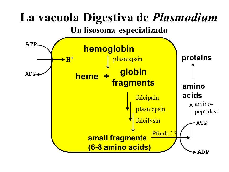 La vacuola Digestiva de Plasmodium Un lisosoma especializado
