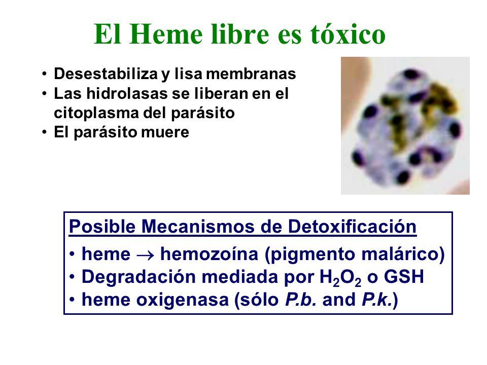 El Heme libre es tóxico Posible Mecanismos de Detoxificación