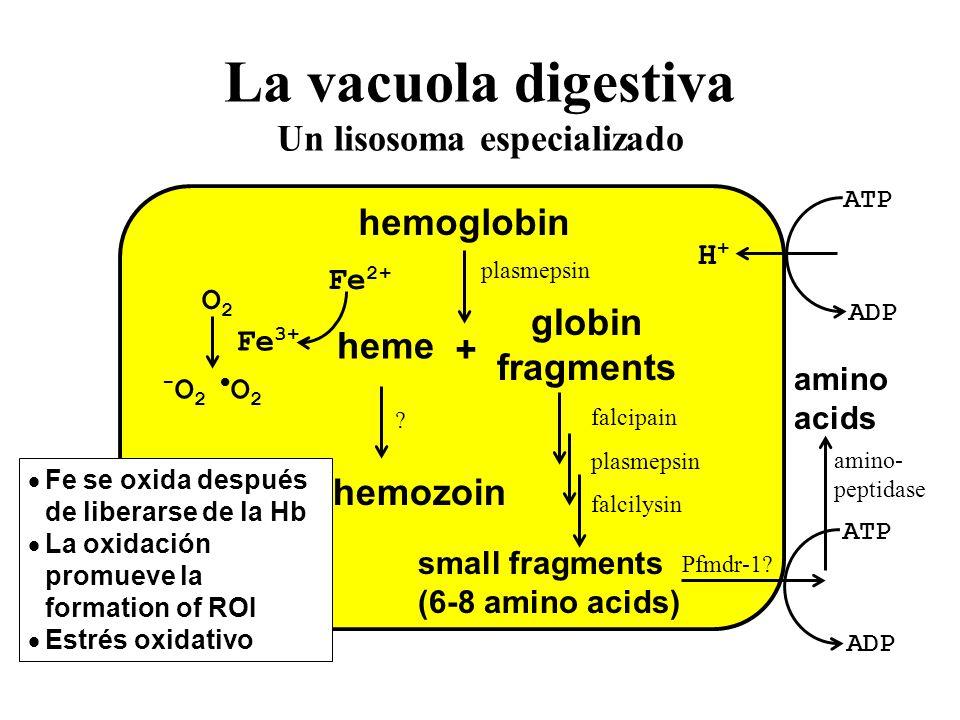 La vacuola digestiva Un lisosoma especializado