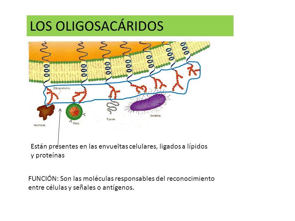 LOS OLIGOSACÁRIDOS Están presentes en las envueltas celulares, ligados a lípidos y proteínas.