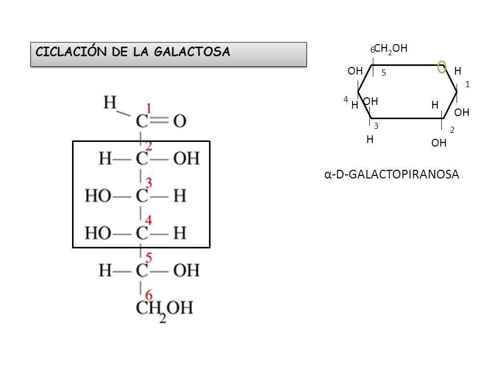 α-D-GALACTOPIRANOSA CH2OH CICLACIÓN DE LA GALACTOSA OH H OH H H OH H