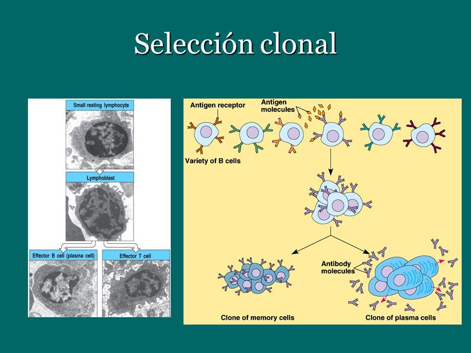 Selección clonal