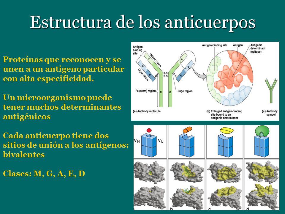 Estructura de los anticuerpos