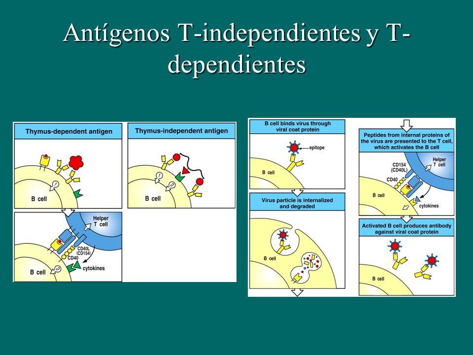 Antígenos T-independientes y T-dependientes
