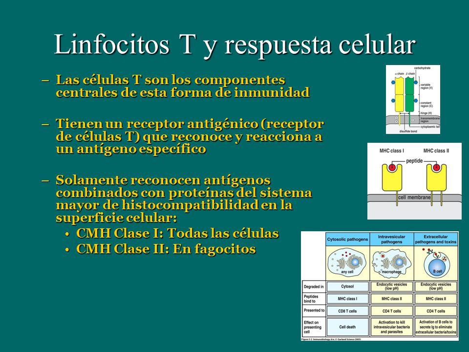 Linfocitos T y respuesta celular