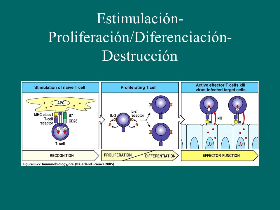 Estimulación-Proliferación/Diferenciación- Destrucción