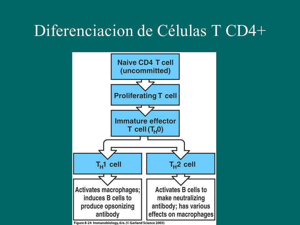 Diferenciacion de Células T CD4+