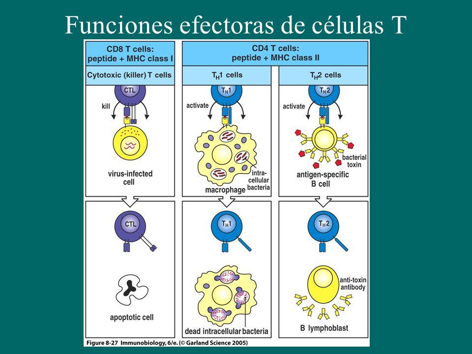 Funciones efectoras de células T activadas