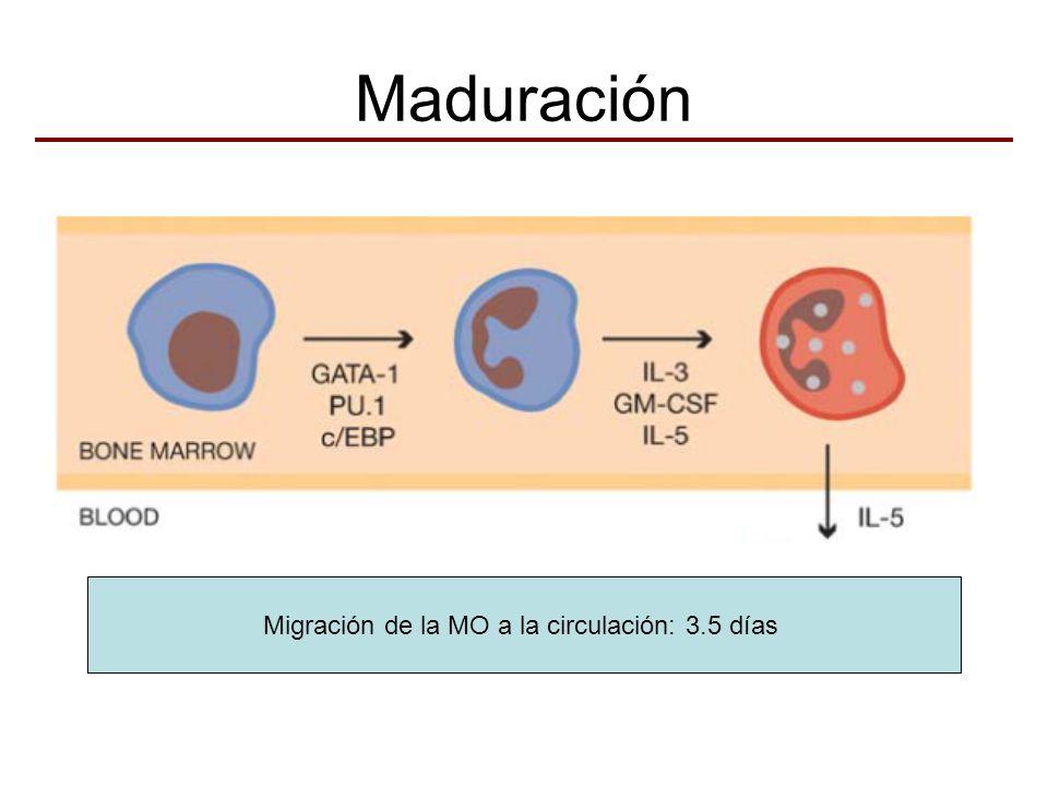 Migración de la MO a la circulación: 3.5 días