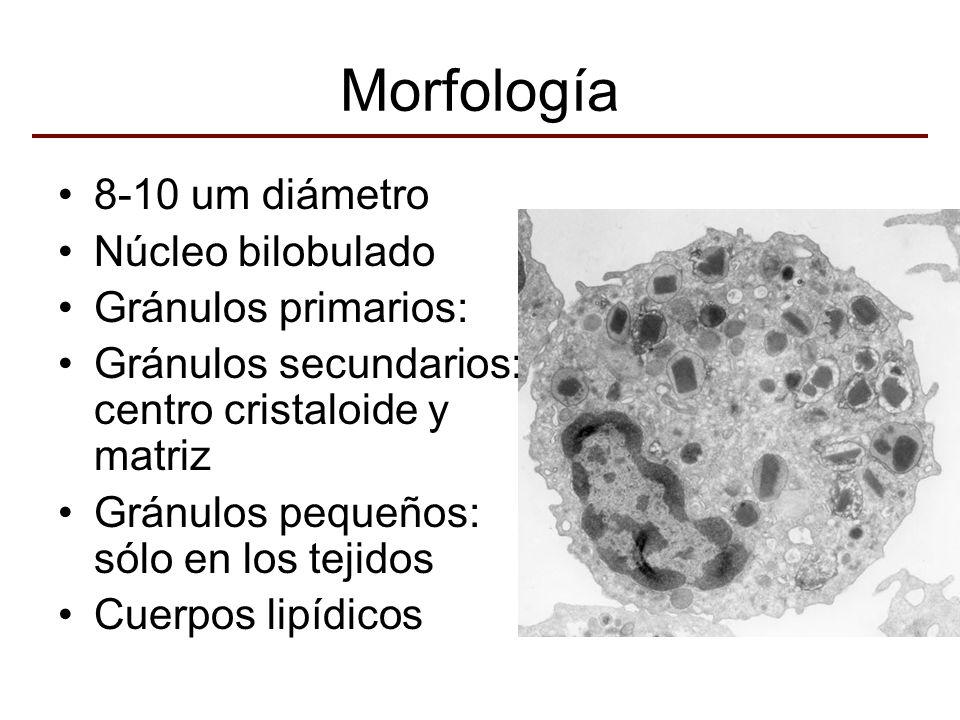 Morfología 8-10 um diámetro Núcleo bilobulado Gránulos primarios: