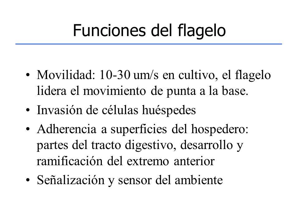 Funciones del flagelo Movilidad: 10-30 um/s en cultivo, el flagelo lidera el movimiento de punta a la base.