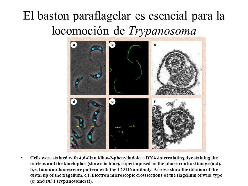 El baston paraflagelar es esencial para la locomoción de Trypanosoma