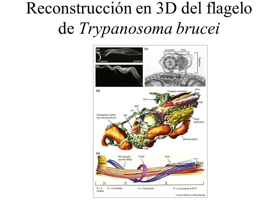 Reconstrucción en 3D del flagelo de Trypanosoma brucei