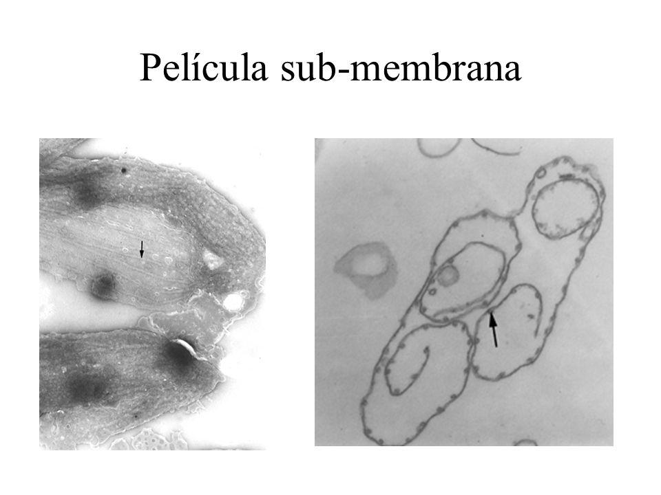 Película sub-membrana