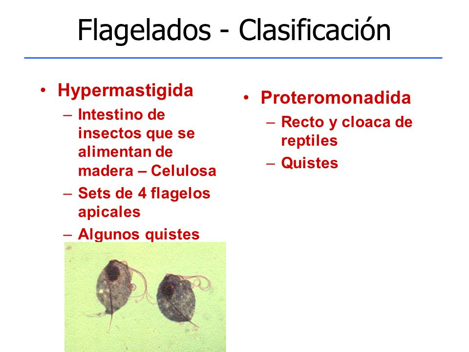 Flagelados - Clasificación