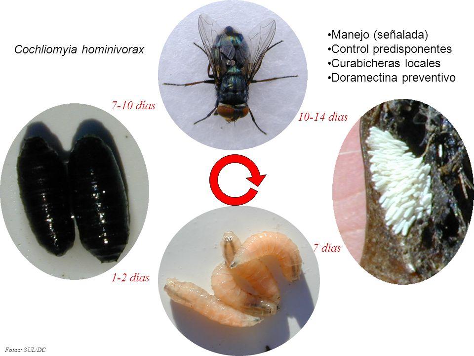 Control predisponentes Curabicheras locales Doramectina preventivo