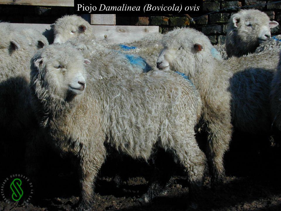 Piojo Damalinea (Bovicola) ovis