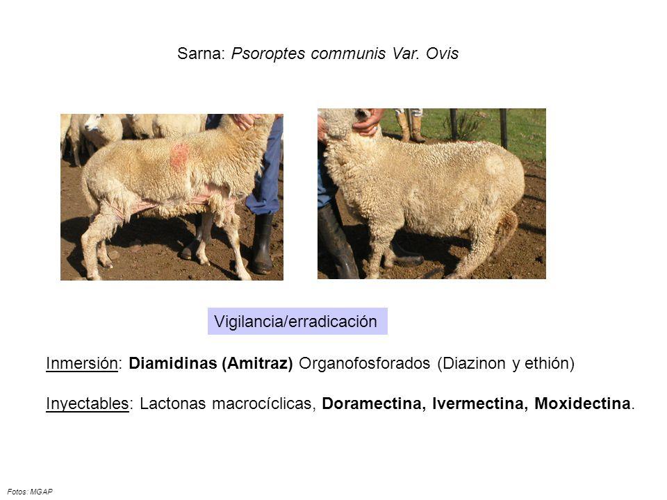 Sarna: Psoroptes communis Var. Ovis