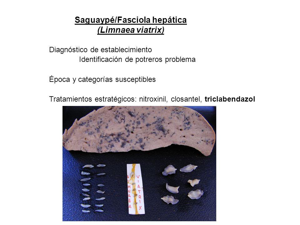 Saguaypé/Fasciola hepática