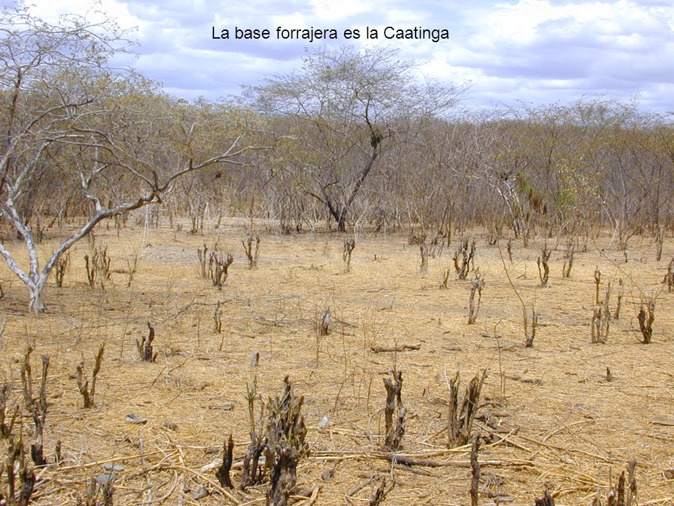 La base forrajera es la Caatinga