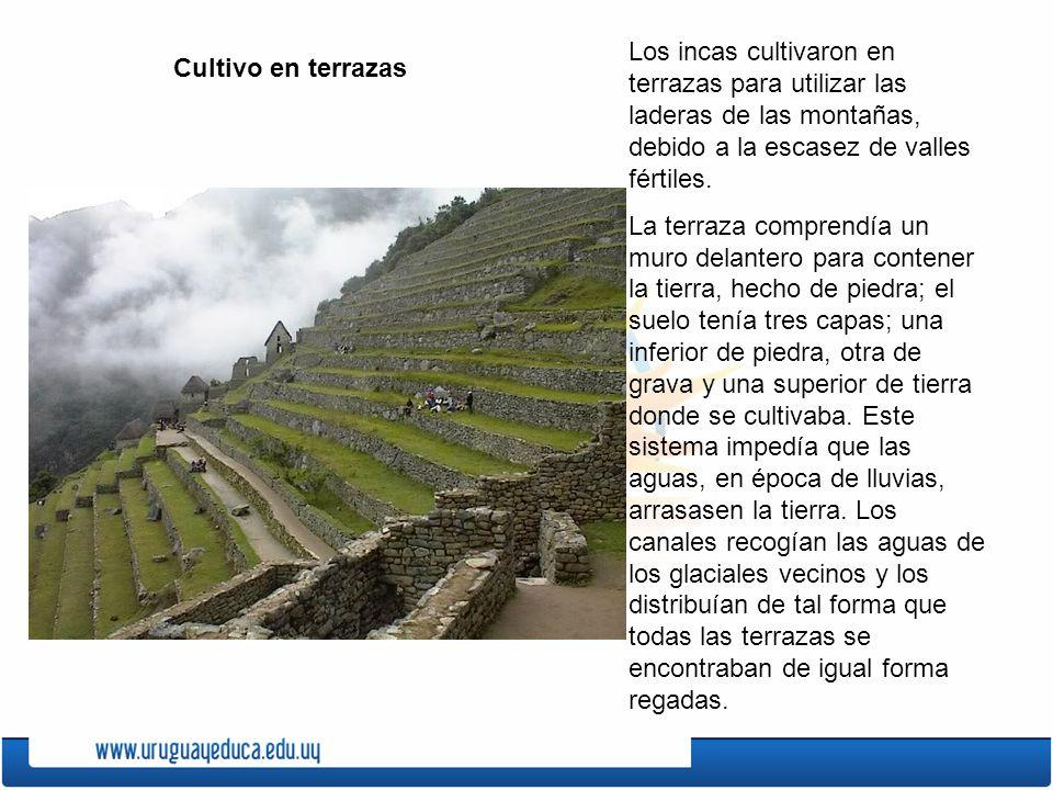 Los incas cultivaron en terrazas para utilizar las laderas de las montañas, debido a la escasez de valles fértiles.
