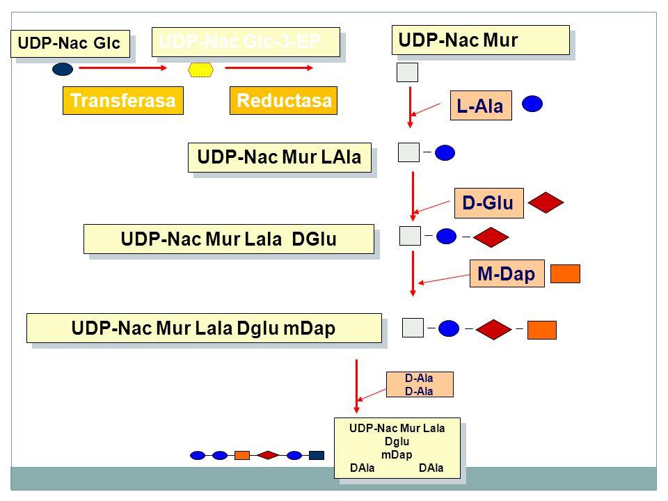 UDP-Nac Mur Lala Dglu mDap UDP-Nac Mur Lala Dglu mDap DAla DAla