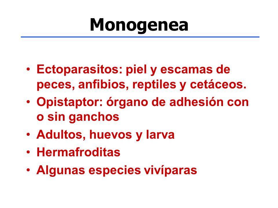 Monogenea Ectoparasitos: piel y escamas de peces, anfibios, reptiles y cetáceos. Opistaptor: órgano de adhesión con o sin ganchos.