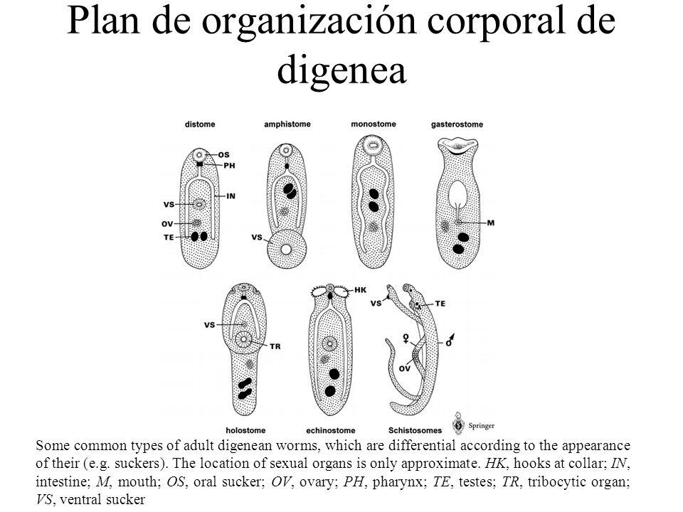 Plan de organización corporal de digenea