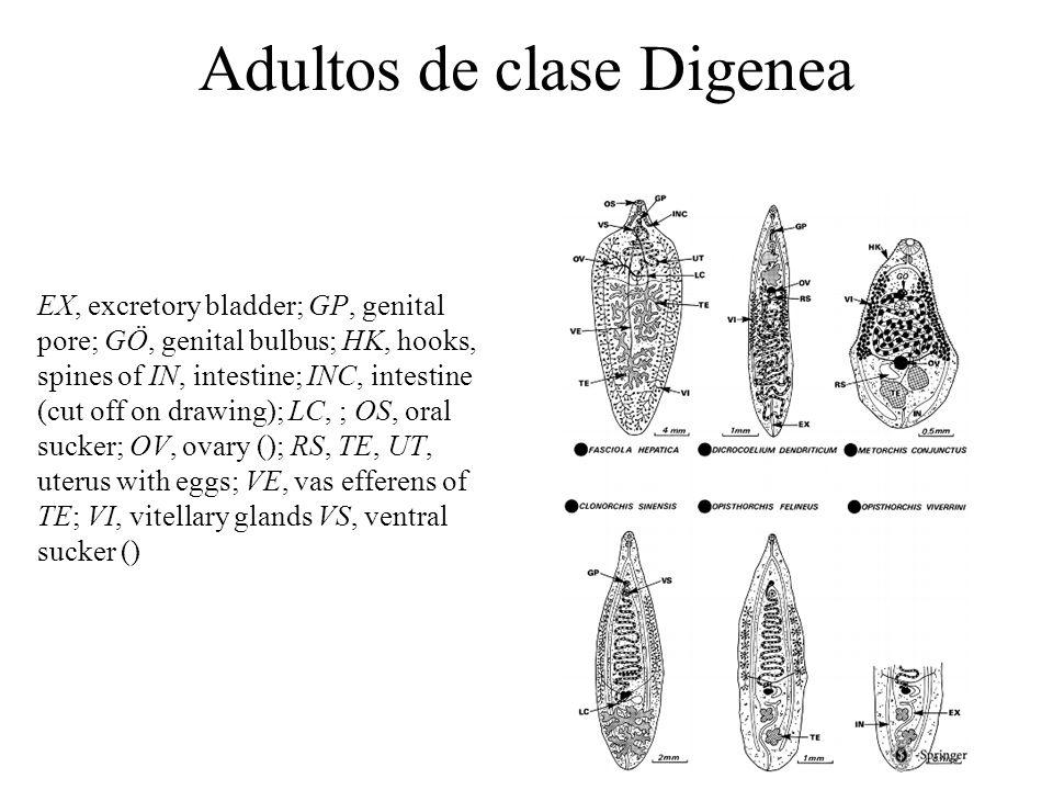 Adultos de clase Digenea