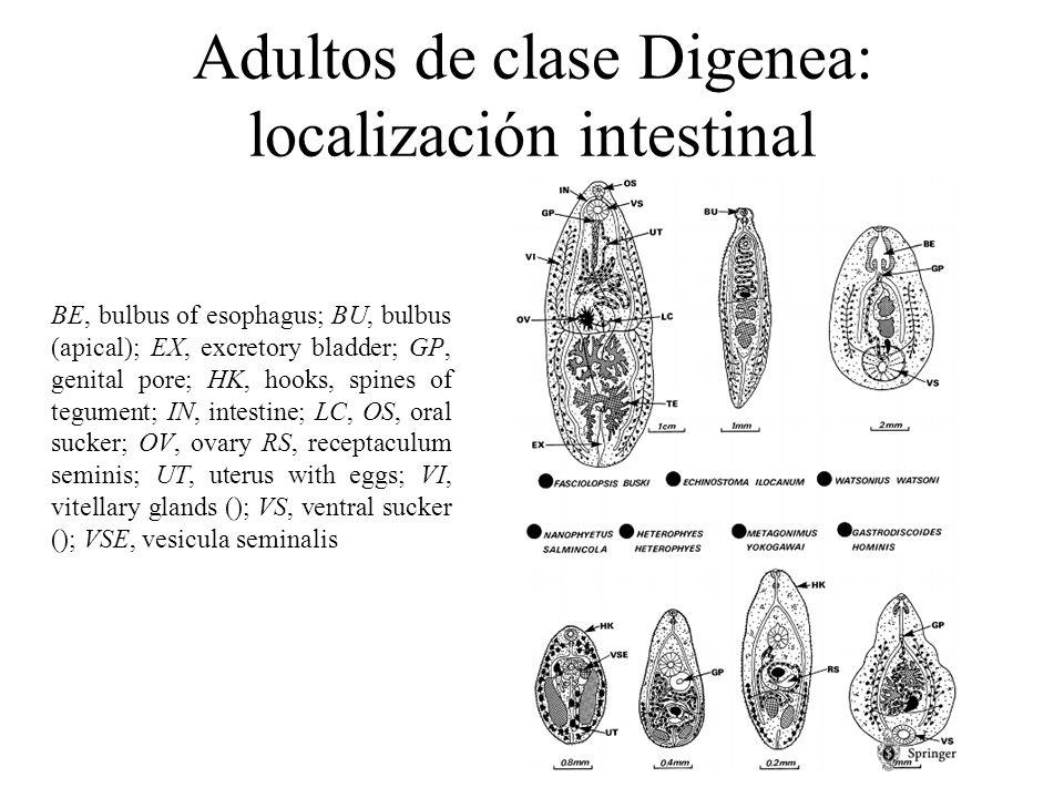 Adultos de clase Digenea: localización intestinal
