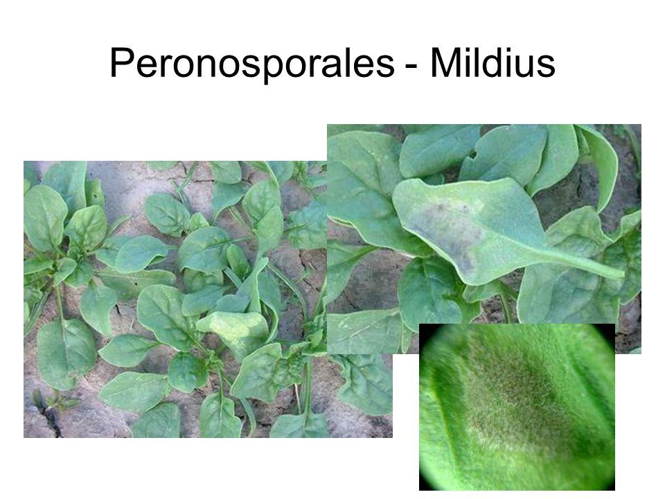Peronosporales - Mildius