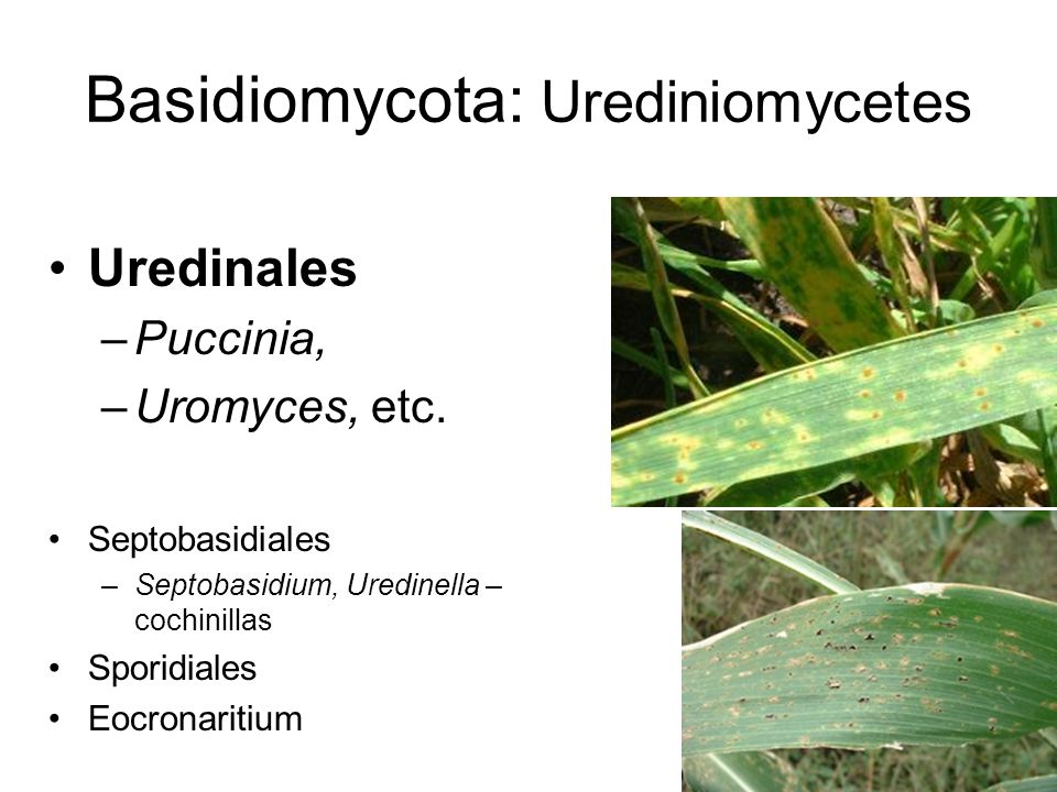 Basidiomycota: Urediniomycetes
