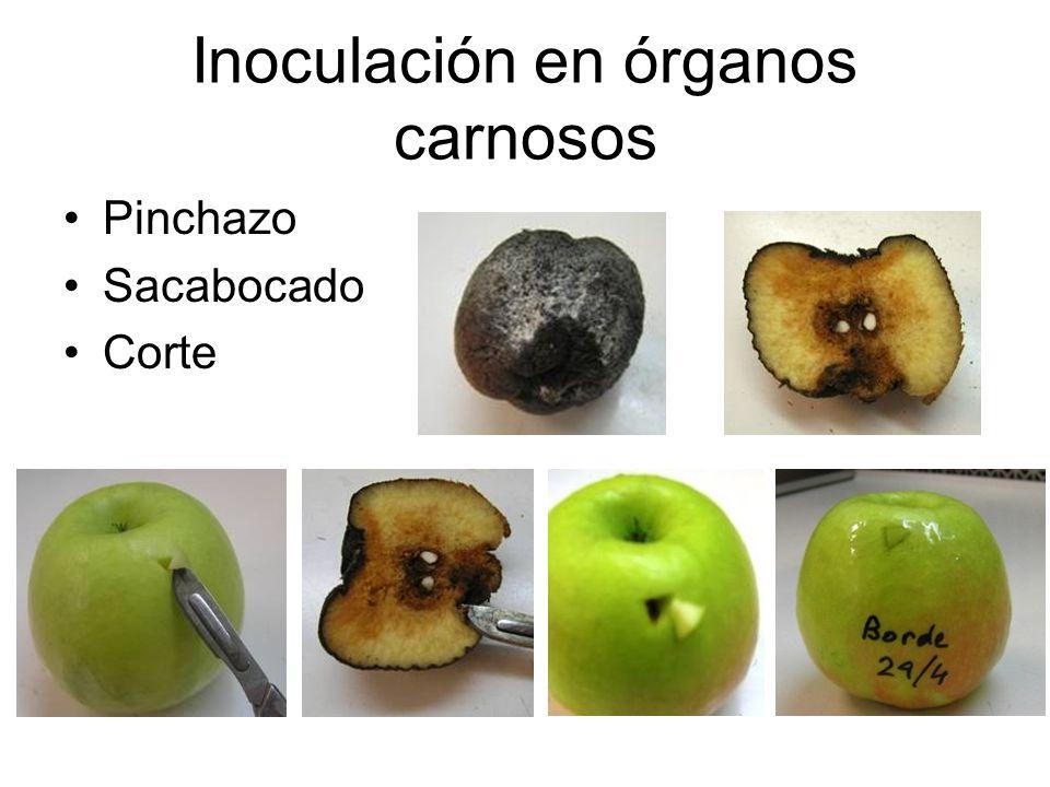 Inoculación en órganos carnosos