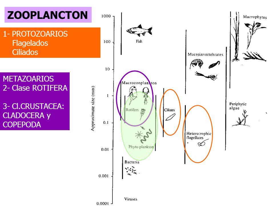 ZOOPLANCTON 1- PROTOZOARIOS Flagelados Ciliados METAZOARIOS