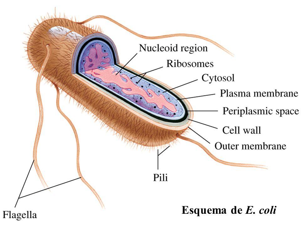 Mecanismos que facilitan la colonización del sistema urinario - ppt ...