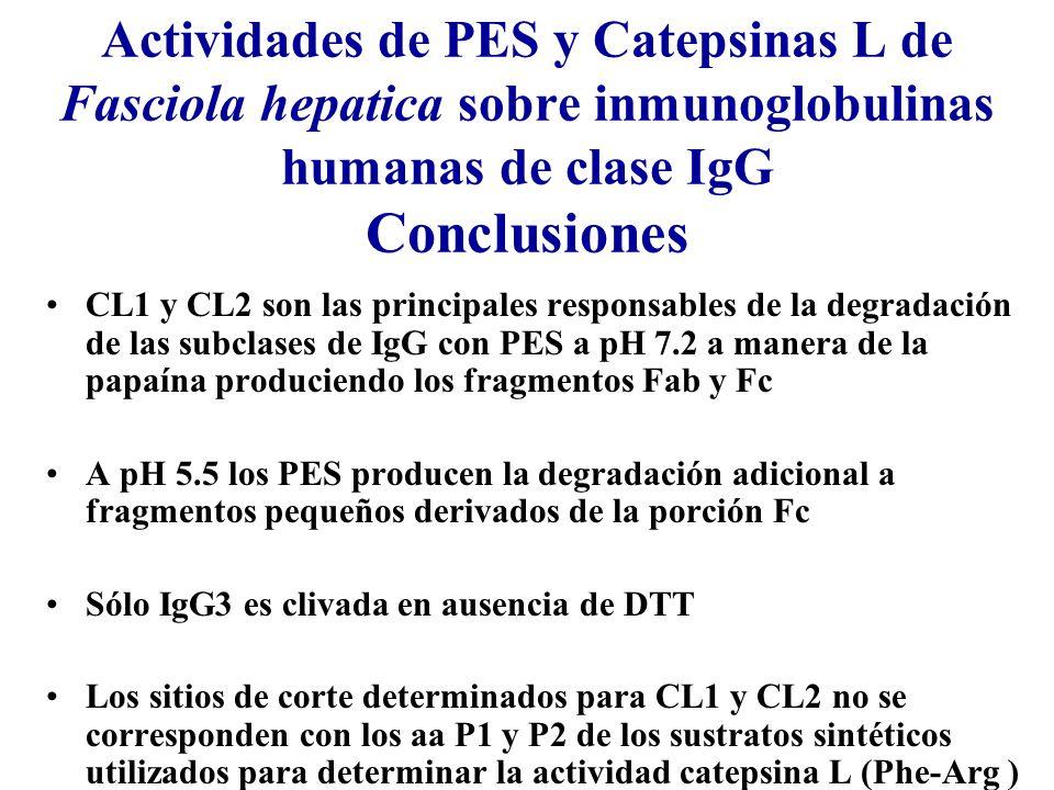 Actividades de PES y Catepsinas L de Fasciola hepatica sobre inmunoglobulinas humanas de clase IgG Conclusiones
