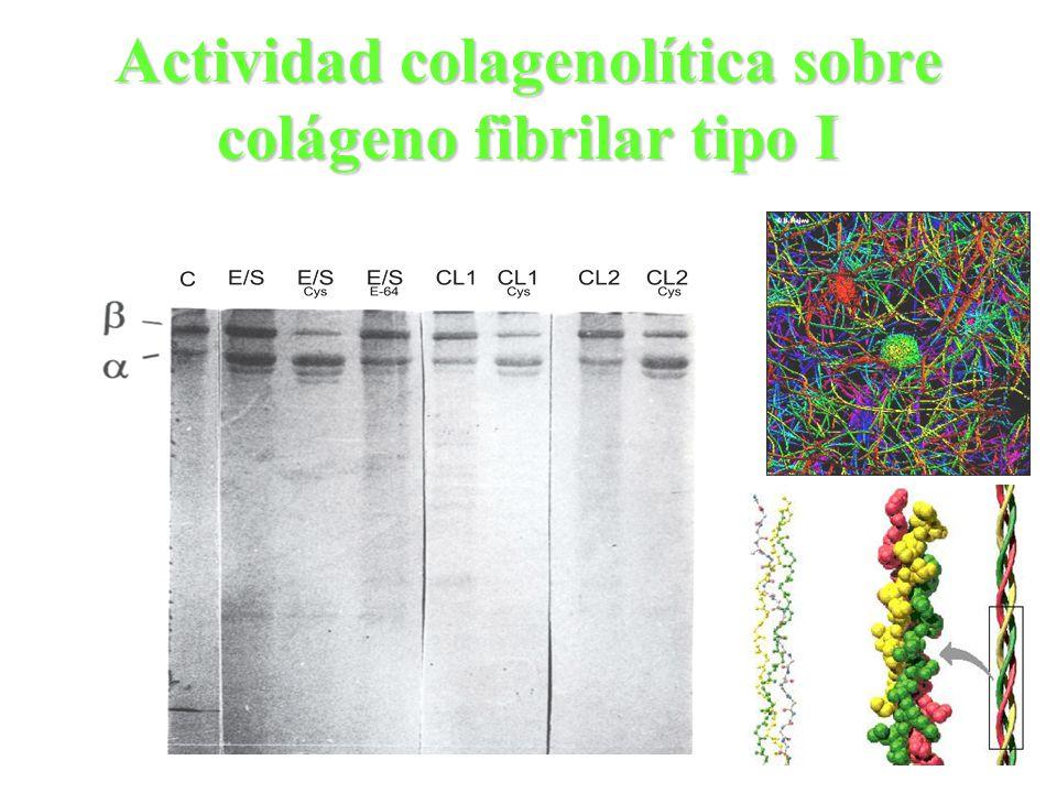 Actividad colagenolítica sobre colágeno fibrilar tipo I